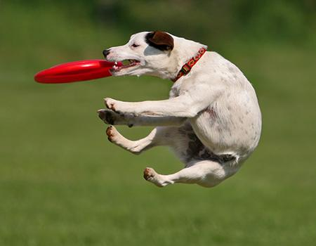 Dog catching frisbee in the air