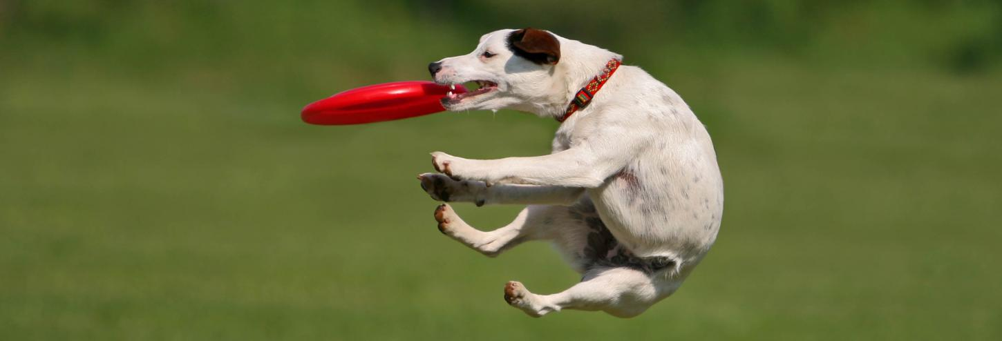 Cute pup catching frisbee in the air