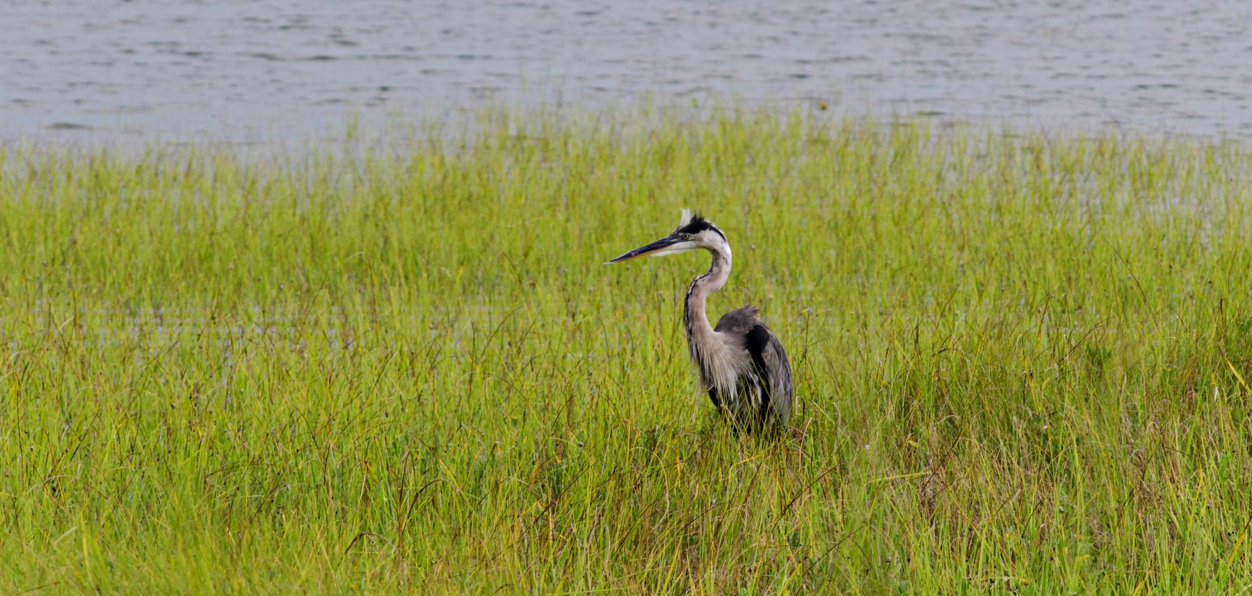 Heron by the water in North Carolina