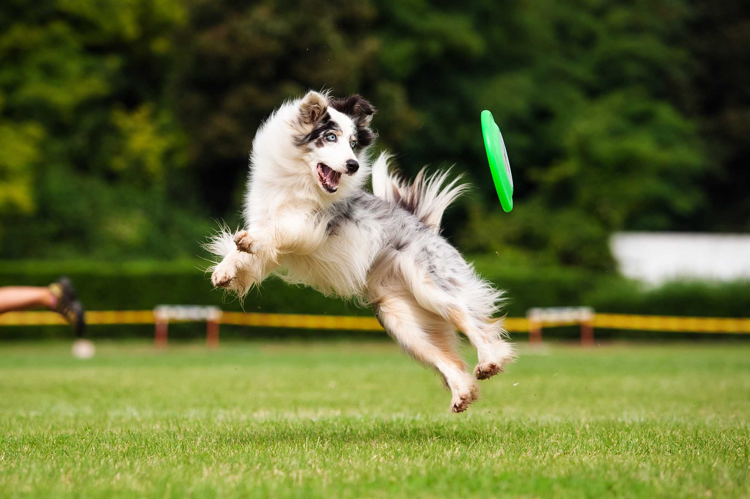 Dog flying through air to catch frisbee disc
